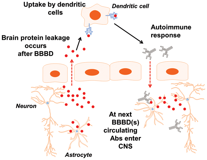 Schematic representation of the events that follow BBBD.  A prediction of the hypothesis that S100B is recognized as a foreign antigen by dendritic cells is that an autoimmune response may results from S100B uptake by immune cells.  Is Peripheral Immunity Regulated by Blood-Brain Barrier Permeability Changes?.   Janigro et al 2014.