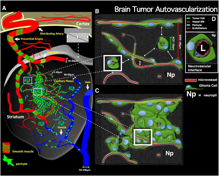 Hijacking the Brain's Blood Supply - Tumor Discovery Could Aid Treatment - neuroinnovations