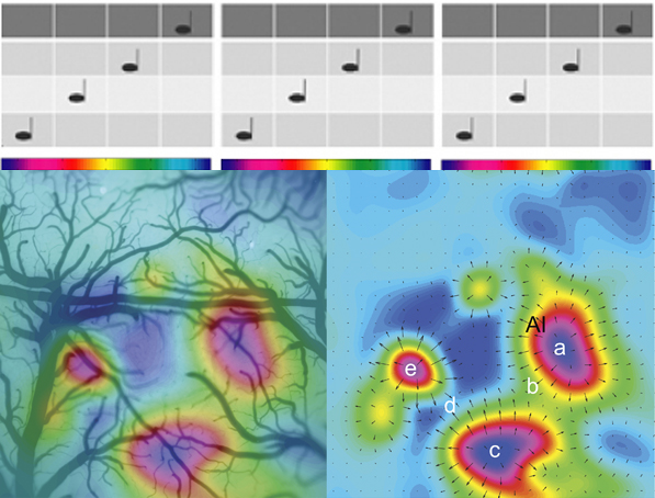 """Tone Frequency Response Organization Defines Rodent Core Auditory Cortex. Optical imaging is another method used to map cortical responses to sound frequency or position of activation on the cochlea. One of the problems with using fMRI to map cochleotopy in auditory cortex is the magnets make a lot of noise. Consequently, it is tricky to determine responses to specific sounds. With optical imaging you can obtain high spatial resolution maps of cortical responses to sound without this large background noise. The map on the left is the optically imaged response to ascending and descending tone scales overlaid with an image of the surface blood vessels for the same region of temporal cortex in the rat. Each color in the colourbar is the a different pure-tone frequency or note in the musical scale used as a sensory stimulus to activate the cortex. Even this small mammal has multiple cochleotopic maps which are complete representations of the cochlear sensory response to tones. On the right is the same functional image overlaid with a vector map. The vector map illustrates the direction and magnitude of change in frequency. The points labeled a, c and e all respond to low frequency tones. The response ascends from low (point a, dark blue) to high (b, green) characteristic frequencies in one representation of the cochlea. Then at point """"b"""" there is a mirror reversal and the response descends from high (b, green) to low (c, dark blue) characteristic frequencies. The anatomy of human auditory cortex and its thalamic inputs remains a bit unclear and therefore it is hard to determine what regions are similar or homologous between human and other mammals. However, it is clear that all mammals have core regions with cochleotopic organization and mirror reversals in that cochleotopy between neighboring core or belt regions. (Figure Source: modified from Higgins et al, 2010)"""