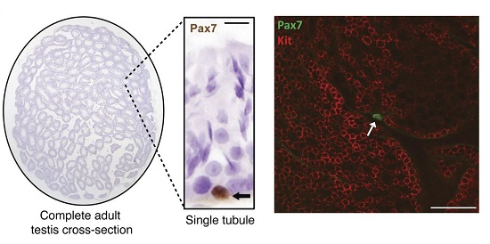 PAX7+ spermatogonia in normal testes.  Rarity of PAX7+ cells in adult (6-week-old) testis cross-section. Arrow denotes a PAX7+ cell within a single seminiferous tubule.  KIT and PAX7 double-labeling (confocal microscopy) showed that PAX7+ spermatogonia (arrow) were isolated (i.e., Asingle) and KIT–. No KIT+PAX7+ spermatogonia were observed. PAX7 was nuclear, whereas KIT was membrane-associated, as expected. Image shows 3 tubules optically sectioned close to the level of the basement membrane to visualize large numbers of spermatogonia.  PAX7 expression defines germline stem cells in the adult testis.  Aloisio et al 2014.