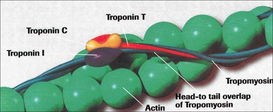Diagram of cardiac troponin complex.  Credit:  A Chaikhouni, H Al-Zaim 2007.