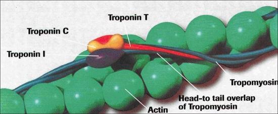 Diagram of cardiac troponin complex.  Credit:  A Chaikhouni, H Al-Zaim 2007.