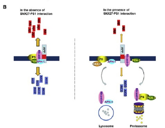 Genetic Deletion of Snx27 Promotes Neuronal Loss in AD Transgenic Mice.  A schematic model of SNX27 in regulating γ-secretase complex formation and Aβ generation. SNX27 binds to PS1 and disassociates the γ-secretase complex, whose individual components are degraded by lysosomes and/or proteasomes, thereby reducing APP γ-cleavage. As SNX27 is downregulated in Down syndrome brains, reduced SNX27 levels may also contribute to amyloid pathology in Down syndrome.  Sorting Nexin 27 Regulates Aβ Production through Modulating γ-Secretase Activity.  Xu et al 2014.