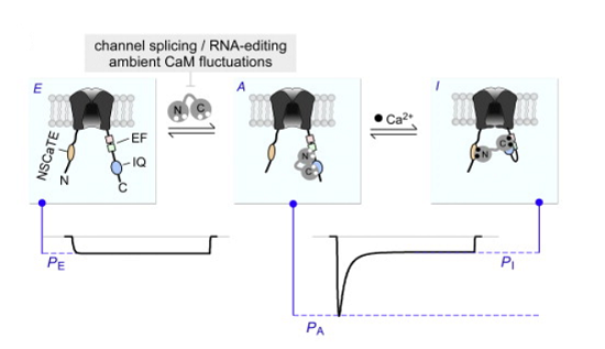 Apocalmodulin Itself Promotes Ion Channel Opening and Ca2+ Regulation.  Phase-Plane Analysis Indicates that One CaM Modulates Both PO and CDI.  One-apoCaM mechanism unifies diversity of baseline PO and CDI properties of CaV1.3 variants.  Yue et al 2014.