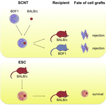The generation of pluripotent stem cells by somatic cell nuclear transfer (SCNT) has recently been achieved in human cells and sparked new interest in this technology. The authors reporting this methodical breakthrough speculated that SCNT would allow the creation of patient-matched embryonic stem cells, even in patients with hereditary mitochondrial diseases. However, herein we show that mismatched mitochondria in nuclear-transfer-derived embryonic stem cells (NT-ESCs) possess alloantigenicity and are subject to immune rejection. In a murine transplantation setup, we demonstrate that allogeneic mitochondria in NT-ESCs, which are nucleus-identical to the recipient, may trigger an adaptive alloimmune response that impairs the survival of NT-ESC grafts. The immune response is adaptive, directed against mitochondrial content, and amenable for tolerance induction. Mitochondrial alloantigenicity should therefore be considered when developing therapeutic SCNT-based strategies.  SCNT-Derived ESCs with Mismatched Mitochondria Trigger an Immune Response in Allogeneic Hosts.  Schrepfer et al 2014.