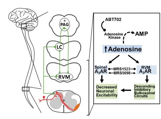 Schematic representation of mechanisms underlying A3AR-induced anti-nociception revealed in our study. Data are mean ± SD.  Endogenous adenosine A3 receptor activation selectively alleviates persistent pain states.  Salvemini et al 2014.