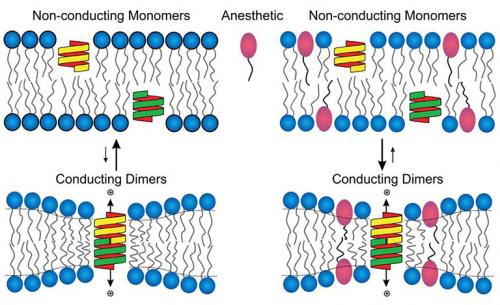 Schematic of a lipid bilayer representing a simple cell membrane. A new study in The Journal of General Physiology shows that activity of ion channel proteins, which are important for cell-to-cell communication, is markedly reduced during anesthesia. Credit: Dr. Olaf Andersen.