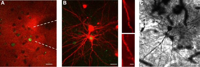 FosGFP+ neurons fire more action potentials than fosGFP– neurons during spontaneous activity under urethane anesthesia.  (A)  In vivo red and green fluorescence image taken during targeting of neighboring fosGFP+ and fosGFP– neurons. Alexa 594 (red fluorescence) from the patch pipettes fills the extracellular space creating shadows of the cell soma. White dashed lines indicate position of recording pipettes directed toward a pair of fosGFP+ and  fosGFP– neurons targeted for recording.  Scale bar, 20 μm.  (B) Left, in vivo merged Z-stack image of same cell pair after patch clamp recordings. Scale bar, 20 μm. Right, short section of dendrite from a fosGFP + (top) and a fosGFP– (below) neuron showing spines.  Scale bar, 5μm.  (C) Biocytin stain of same pair of cells. Scale bar, 20 μm.  Cortical fosGFP Expression Reveals Broad Receptive Field Excitatory Neurons Targeted by POm.  Poulet et al 2014.