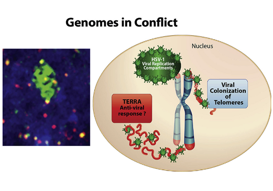 Herpes virus rearranges telomeres to improve viral replication - healthinnovations