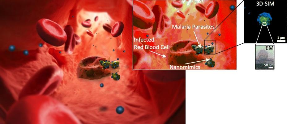 Nanomimics of Host Cell Membranes Block Invasion and Expose Invasive Malaria Parasites.  Meier et al 2014.