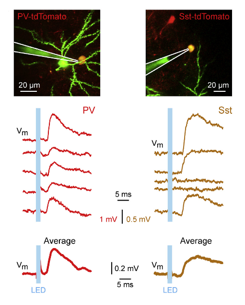 Optogenetics used to capture neuronal transmission in the live cell type specific features of excitatory synaptic transmission in vivo a ccuart Image collections