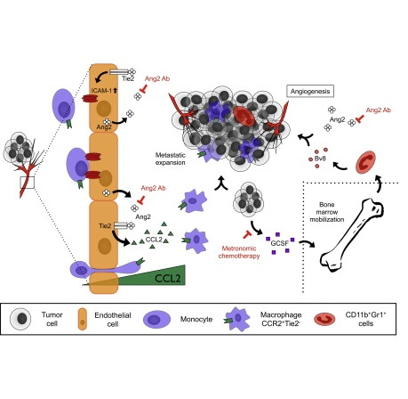 Antiangiogenic tumor therapy has failed in the adjuvant setting. Here we show that inhibition of the Tie2 ligand angiopoietin-2 (Ang2) effectively blocks metastatic growth in preclinical mouse models of postsurgical adjuvant therapy. Ang2 antibody treatment combines well with low-dose metronomic chemotherapy (LDMC) in settings in which maximum-dose chemotherapy does not prove effective. Mechanistically, Ang2 blockade could be linked to quenching the inflammatory and angiogenic response of endothelial cells (ECs) in the metastatic niche. Reduced EC adhesion molecule and chemokine expression inhibits the recruitment of tumor-promoting CCR2+Tie2− metastasis-associated macrophages. Moreover, LDMC contributes to therapeutic efficacy by inhibiting the recruitment of protumorigenic bone marrow-derived myeloid cells. Collectively, these data provide a rationale for mechanism-guided adjuvant tumor therapies.  Postsurgical Adjuvant Tumor Therapy by Combining Anti-Angiopoietin-2 and Metronomic Chemotherapy Limits Metastatic Growth.  Augustin et al 2014.