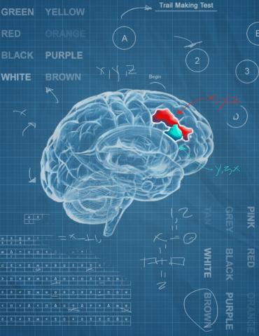 The dorsolateral prefrontal cortex, depicted in blue and red, is larger and linked with better function in those who carry one copy of the KLOTHO gene variant. Illustration by Michael Griffin Kelly.