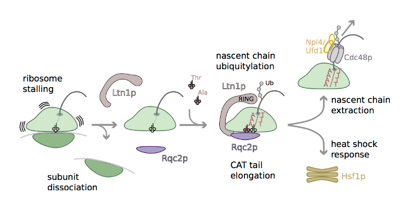 Schematic model for RQC-mediated recognition and rescue of stalled ribosomes.  The 80S ribosome stalls during translation and the 40S dissociates. Ltn1p and Rqc2p recognize unique features of the resulting peptidyl-tRNA-60S complex. Ltn1p binds Rqc2p and the 60S at the SRL and reaches around the 60S towards the exit tunnel to ubiquitylate emerging nascent chains. Cdc48p and its co-adaptors target the ubiquitylated peptide to the proteasome for degradation.  Rqc2p binds the exposed~P-site tRNA, and directs elongation of the stalled nascent chain with CAT tails by recruiting tRNA Ala(IGC) and tRNA Thr(IGU) to the A-site. Rqc2p directed translation elongation is mRNA template-free and 40S-free. The resulting CAT tail is involved in signaling to Heat Shock Factor 1, Hsf1p.  Rqc2p and 60S ribosomal subunits mediate mRNA-independent elongation of nascent chains.  Frost et al 2015.