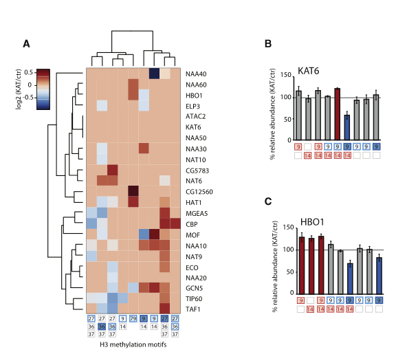 Depletion of KATs and KDACs Triggers a Systemic Alteration of the Histone Methylome.  (A) Reorganization of histone methylation sites after KAT deprivation. Heatmap displays relative changes after KAT RNAi normalized to control RNAi. Only significant changes are shown (p <0.05, two-sided unpaired t test.). Dendrograms were generated by unsupervised hierarchical clustering using the ''ward'' algorithm on a Euclidean distance matrix. The H3.K27me2 and H3.K79me1 motifs did not change significantly in any KAT RNAi and therefore were not integrated in the heatmap.  (B and C) Comparative analysis of acetylation- only, methylation-only, and mixed acetylation-methylation motifs facilitates prioritization of putative KAT targets and identifies acetylation-methylation crosstalk. Significantly reduced (blue) and increased (red) motifs are indicated (two-sided t test, p < 0.05). Error bars indicate SEM (n = 3 for KAT6, n = 4 for HBO1).  Global and Specific Responses of the Histone Acetylome to Systematic Perturbation.  Becker et al 2015.