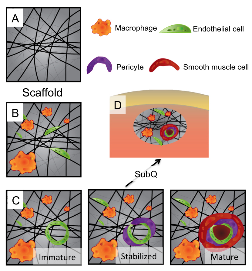 The proposed mechanism of healing in hydrogels developed at Rice University starts with (A) injectable peptide scaffolds that form nanofibrous hydrogels. (B) Macrophages and endothelial cells infiltrate the scaffold. (C) Vessels progress from immature (endothelial cells only) to stabilized (endothelial and pericyte cells) to mature (endothelial, pericyte and smooth muscle cells). (D) Mature neovessels rapidly form in just seven days in the subcutaneous model. (Credit: Vivek Kumar/Rice University).