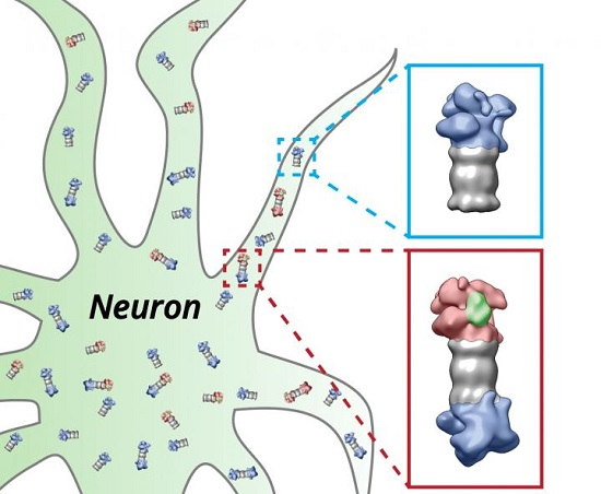 Live broadcast from inside the nerve cell - neuroinnovations