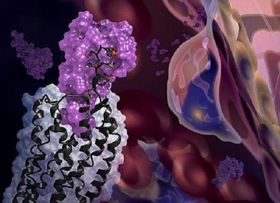 The newly solved structure of the CXCR4 receptor (black) in complex with a chemokine (purple surface). The background shows cell migration, a process driven by chemokines interacting with receptors on cell surfaces.  Credit:  Katya Kadyshevskaya, USC.