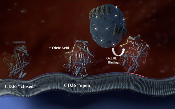 Using homology modeling of CD36 from the recently published crystal structure of CD36 family member LIMP-2 (15), we designed this schematic showing a possible mechanism for oxLDL binding, after FA opens the binding site, based on combining our FA binding studies (SPR) and Dii-oxLDL binding/uptake data (microscopy). The site of FA and oxLDL binding is presumably on the opposite face of the CD36 protein structure (left side, as the CD36 protein is oriented in the schematic) from the disulfide bond-rich region (right), as we found disulfide bond reduction does not alter oxLDL binding. LDL is shown in the upper background with a single apolipoprotein B-100 wrapping the particle and white dots on the LDL indicate oxidation. One of the implications of the newly characterized FA sites on CD36 is that as the concentration of FA in the plasma and/or PM increases, the sites on CD36 will have high occupancy, further increasing oxLDL binding and uptake.  CD36 binds oxidized LDL in a mechanism dependent upon fatty acid binding.  Hamilton et al 2015.