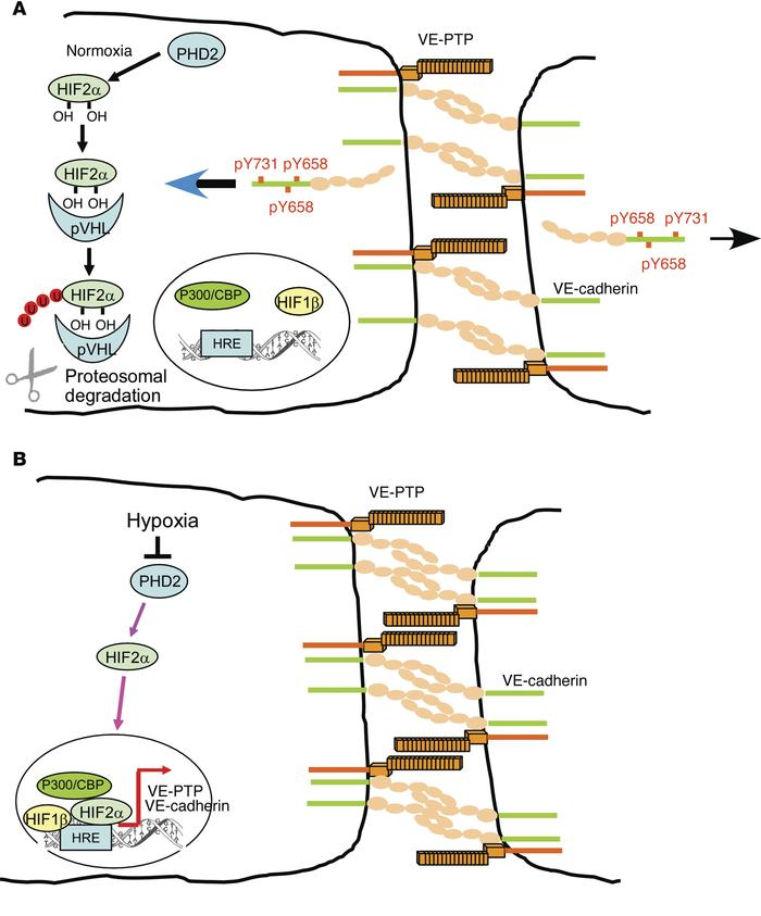 Signaling pathways regulating HIF2α-induced VE-PTP expression. (A) In normoxia, PHD2 hydroxylates HIF2α, resulting in its binding to pVHL, which targets HIF2α for proteasomal degradation. Basal levels of VE-PTP and VE-cadherin are expressed in ECs to maintain a restrictive endothelial barrier. VE-PTP–induced dephosphorylation of VE-cadherin maintains VE-cadherin at AJs and prevents VE-cadherin internalization. (B) In hypoxia, PHD2 activity is inhibited, and nonhydroxylated HIF2α accumulates in the nucleus and associates with constitutively expressed HIF1β and the coactivator CBP/P300 to transactivate VEPTP gene transcription through binding to HREs. VE-PTP interaction with VE-cadherin dephosphorylates VE-cadherin at Y658, Y685, and Y731 and inhibits VE-cadherin internalization, thus enhancing AJ assembly and endothelial barrier integrity.  HIF2α signaling inhibits adherens junctional disruption in acute lung injury.  Malik et al 2015.