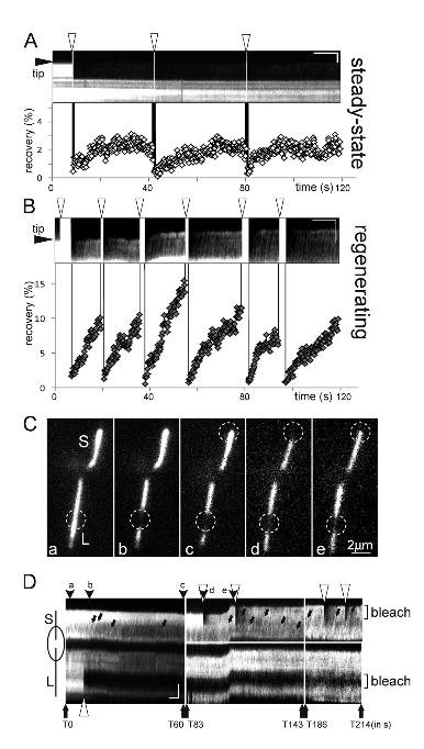 Repeated FRAP of growing and nongrowing cilia is followed by similar rates of recovery. (A and B) Segments of a steady-state (A) and a re-generating (B) cilium were repeatedly bleached (indicated by arrowheads). Kymograms (top) and FRAP quantification (bottom) indicate similar rates (in percentage of pre-bleach GFP– a-tubulin fluorescence) of recovery after each bleaching step. (C and D) Individual frames (C) and kymograms (D) of a long-short cell. Bleached areas are marked by dashed circles. The kymogram (D) is a composite of several recordings, and arrowheads labeled a–e indicate the positions of the frames in C. The time (in seconds) for each recording and the position the bleaching laser (Brackets) is indicated; overexposed frames caused by photobleaching were deleted. Arrows in D: GFP–a-tubulin trajectories. Note fast and strong recovery in subsequent bleachings of the short cilium while the initially bleached area in the long cilium remains visible. The extended observation time will also bleach some of the (axonemal) GFP–a-tubulin outside of the spot bleaching area. This loss of fluorescence in the nonbleached areas results in a higher apparent recovery in the bleached areas. Tubulin transport by IFT is upregulated during ciliary growth by a cilium-autonomous mechanism. Lechtreck et al 2015.