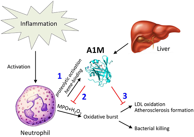 """Tentative function of A1M in protection against bystander oxidative damage caused by neutrophils. The figure summarizes the findings of this paper in a physiological context. Recruitment and activation of neutrophils during inflammation involves MPO-mediated bacterial killing but may also yield LDL-oxidation as a side-effect. (1) Neutrophil culture medium or purified MPO induces heme-binding of A1M, and proteolytic cleavage of the protein which was previously shown to activate a heme-degradation activity of A1M (Allhorn et al., 2002). (2) The induced heme-degradation mechanism of A1M is tentatively """"disarming"""" the peroxidase, preventing oxidative burst. (3) LDL-oxidation by MPO is inhibited by A1M, and pre-formed oxidation products on LDL are reduced.  A1M/α1-microglobulin is proteolytically activated by myeloperoxidase, binds its heme group and inhibits low density lipoprotein oxidation.  Åkerström et al 2015."""