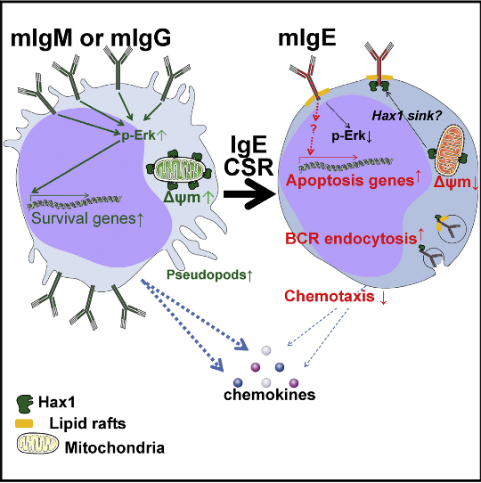 Among immunoglobulins (Igs), IgE can powerfully contribute to antimicrobial immunity and severe allergy despite its low abundance. IgE protein and gene structure resemble other Ig classes, making it unclear what constrains its production to thousand-fold lower levels. Whether class-switched B cell receptors (BCRs) differentially control B cell fate is debated, and study of the membrane (m)IgE class is hampered by its elusive in vivo expression. Here, we demonstrate a self-controlled mIgE+ B cell stage. Primary or transfected mIgE+ cells relocate the BCRs into spontaneously internalized lipid rafts, lose mobility to chemokines, and change morphology. We suggest that combined proapoptotic mechanisms possibly involving Hax1 prevent mIgE+ memory lymphocyte accumulation. By uncoupling in vivo IgE switching from cytokine and antigen stimuli, we show that these features are independent from B cell stimulation and instead result from mIgE expression per se. Consequently, few cells survive IgE class switching, which might ensure minimal long-term IgE memory upon differentiation into plasma cells.  Self-Restrained B Cells Arise following Membrane IgE Expression.  Cogné et al 2015.