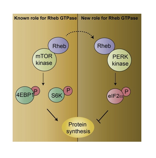 Rheb, a ubiquitous small GTPase, is well known to bind and activate mTOR, which augments protein synthesis. Inhibition of protein synthesis is also physiologically regulated. Thus, with cell stress, the unfolded protein response system leads to phosphorylation of the initiation factor eIF2α and arrest of protein synthesis. We now demonstrate a major role for Rheb in inhibiting protein synthesis by enhancing the phosphorylation of eIF2α by protein kinase-like ER kinase (PERK). Interplay between the stimulatory and inhibitory roles of Rheb may enable cells to modulate protein synthesis in response to varying environmental stresses.  Rheb Inhibits Protein Synthesis by Activating the PERK-eIF2α Signaling Cascade.  Subramaniam et al 2015.