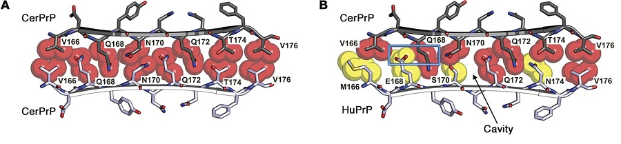 Atomic space-filling and surface representations of the PrP loop highlight the side chain interactions at the zipper interface.  (A) Atomic space-filling model illustrates the view down the fibril axis. The amino acid side chains of donor cervid PrP (gray) and recipient cervid PrP (white) interdigitate in a class 3 steric zipper. (B) In contrast, the zipper interactions between the donor cervid PrP (gray) and the recipient human PrP (white), which contain yellow side chains (M166, E168, S170, N174), generate a cavity (arrow) between human S170 and cervid N170, as well as steric clash (blue rectangle) between human residue E168 and cervid residue Q168.  Human prion protein sequence elements impede cross-species chronic wasting disease transmission.   Sigurdson et al 2015.