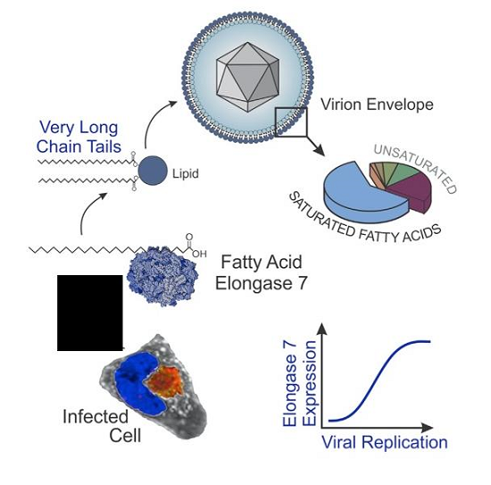 featured image Cytomegalovirus hijacks human enzyme for replication - healthinnovations