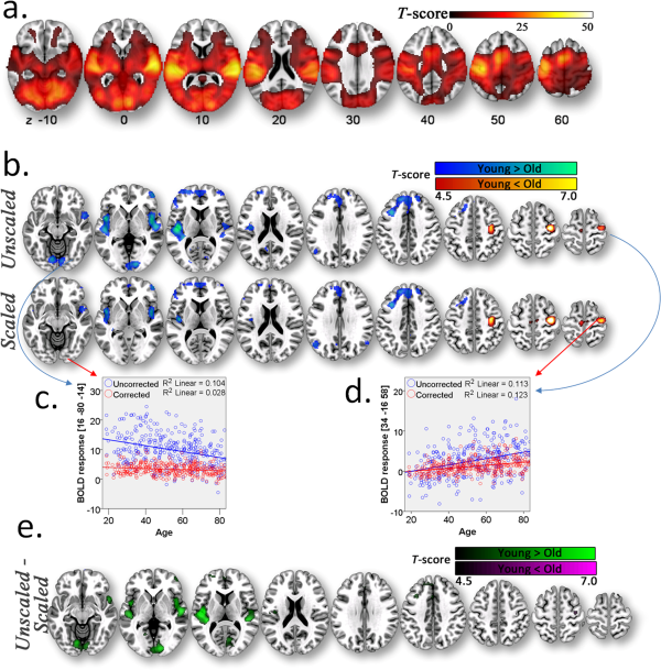Wholegroup BOLD response to audiovisual stimulation.  a) Group BOLD activity in the primary visual, motor and auditory cortices in the sensorimotor task. b) Decreases (cold colours) and increases (warm colours) in unscaled and scaled BOLD response as a function of increasing age. c) Decrease in BOLD response as a function of increasing age in the occipital lobe (blue) is abolished after scaling the sensorimotor-task with RSFA(red), where each point represents an individual. d) Age-related increase in BOLD response in the ipsilateral motor cortex remains after scaled by RSFA. e) Apparent age-related decreases in BOLD response in primary visual and auditory cortices, on the other hand, are no longer present after scaling by RSFA.  The effect of ageing on fMRI: Correction for the confounding effects of vascular reactivity evaluated by joint fMRI and MEG in 335 adults.  Rowe et al 2015.
