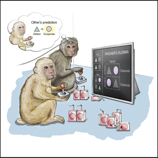 A cornerstone of successful social interchange is the ability to anticipate each other's intentions or actions. While generating these internal predictions is essential for constructive social behavior, their single neuronal basis and causal underpinnings are unknown. Here, we discover specific neurons in the primate dorsal anterior cingulate that selectively predict an opponent's yet unknown decision to invest in their common good or defect and distinct neurons that encode the monkey's own current decision based on prior outcomes. Mixed population predictions of the other was remarkably near optimal compared to behavioral decoders. Moreover, disrupting cingulate activity selectively biased mutually beneficial interactions between the monkeys but, surprisingly, had no influence on their decisions when no net-positive outcome was possible. These findings identify a group of other-predictive neurons in the primate anterior cingulate essential for enacting cooperative interactions and may pave a way toward the targeted treatment of social behavioral disorders.  Neuronal Prediction of Opponent's Behavior during Cooperative Social Interchange in Primates.  Williams et al 2015.