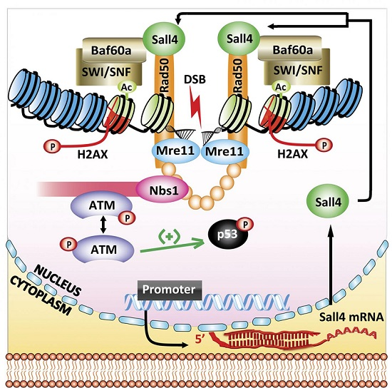 This is an illustrated model for the role of Sall4 in activating ATM to repair DNA damage in embryonic stem cells.  Credit:  Xiong et al., 2015.