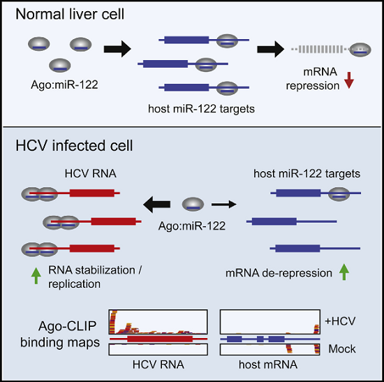 "Hepatitis C virus (HCV) uniquely requires the liver-specific microRNA-122 for replication, yet global effects on endogenous miRNA targets during infection are unexplored. Here, high-throughput sequencing and crosslinking immunoprecipitation (HITS-CLIP) experiments of human Argonaute (AGO) during HCV infection showed robust AGO binding on the HCV 5′UTR at known and predicted miR-122 sites. On the human transcriptome, we observed reduced AGO binding and functional mRNA de-repression of miR-122 targets during virus infection. This miR-122 ""sponge"" effect was relieved and redirected to miR-15 targets by swapping the miRNA tropism of the virus. Single-cell expression data from reporters containing miR-122 sites showed significant de-repression during HCV infection depending on expression level and site number. We describe a quantitative mathematical model of HCV-induced miR-122 sequestration and propose that such miR-122 inhibition by HCV RNA may result in global de-repression of host miR-122 targets, providing an environment fertile for the long-term oncogenic potential of HCV.  Hepatitis C Virus RNA Functionally Sequesters miR-122.  Darnell et al 2015."