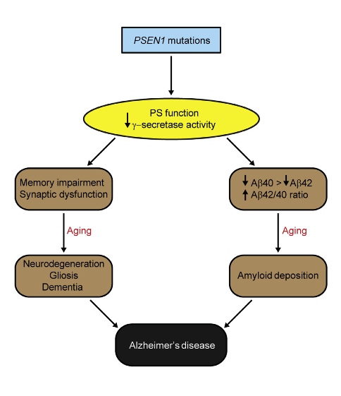 A Schematic Model for FAD.  Pathogenic PSEN1 mutations cause loss of PS1 function and g-secretase activity, leading to AD-relevant functional and neuropathological changes, including memory impairment, synaptic dysfunction, age-dependent neurodegeneration, gliosis, and dementia. In parallel, the loss of PS function produced by pathogenic PSEN1 mutations also reduces Ab production and increases the Ab42/Ab40 ratio due to the greater reduction of Ab40 production compared to that of Ab42, thereby promoting amyloid plaque deposition.  Thus, PSEN mutations produce the full spectrum of AD phenotypes through a loss-of-function mechanism.  Presenilin-1 Knockin Mice Reveal Loss-of-Function Mechanism for Familial Alzheimer's Disease.  Shen et al 2015.