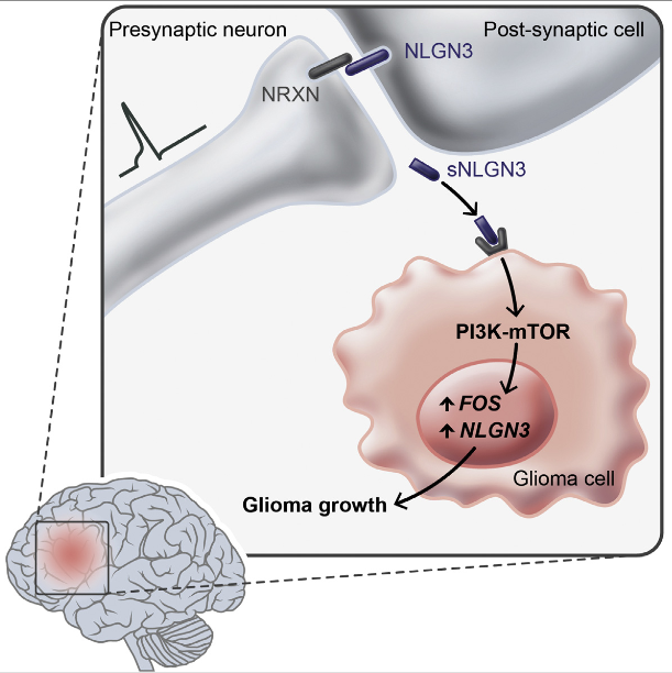 Active neurons exert a mitogenic effect on normal neural precursor and oligodendroglial precursor cells, the putative cellular origins of high-grade glioma (HGG). By using optogenetic control of cortical neuronal activity in a patient-derived pediatric glioblastoma xenograft model, we demonstrate that active neurons similarly promote HGG proliferation and growth in vivo. Conditioned medium from optogenetically stimulated cortical slices promoted proliferation of pediatric and adult patient-derived HGG cultures, indicating secretion of activity-regulated mitogen(s). The synaptic protein neuroligin-3 (NLGN3) was identified as the leading candidate mitogen, and soluble NLGN3 was sufficient and necessary to promote robust HGG cell proliferation. NLGN3 induced PI3K-mTOR pathway activity and feedforward expression of NLGN3 in glioma cells. NLGN3 expression levels in human HGG negatively correlated with patient overall survival. These findings indicate the important role of active neurons in the brain tumor microenvironment and identify secreted NLGN3 as an unexpected mechanism promoting neuronal activity-regulated cancer growth.  Neuronal Activity Promotes Glioma Growth through Neuroligin-3 Secretion.   Monje et al 2015.