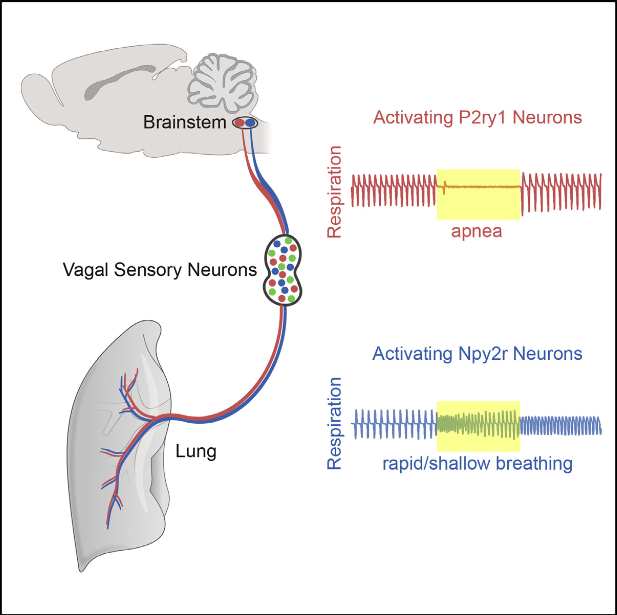 Breathing is essential for survival and under precise neural control. The vagus nerve is a major conduit between lung and brain required for normal respiration. Here, we identify two populations of mouse vagus nerve afferents (P2ry1, Npy2r), each a few hundred neurons, that exert powerful and opposing effects on breathing. Genetically guided anatomical mapping revealed that these neurons densely innervate the lung and send long-range projections to different brainstem targets. Npy2r neurons are largely slow-conducting C fibers, while P2ry1 neurons are largely fast-conducting A fibers that contact pulmonary endocrine cells (neuroepithelial bodies). Optogenetic stimulation of P2ry1 neurons acutely silences respiration, trapping animals in exhalation, while stimulating Npy2r neurons causes rapid, shallow breathing. Activating P2ry1 neurons did not impact heart rate or gastric pressure, other autonomic functions under vagal control. Thus, the vagus nerve contains intermingled sensory neurons constituting genetically definable labeled lines with different anatomical connections and physiological roles.  Vagal Sensory Neuron Subtypes that Differentially Control Breathing.   Liberles et al 2015.