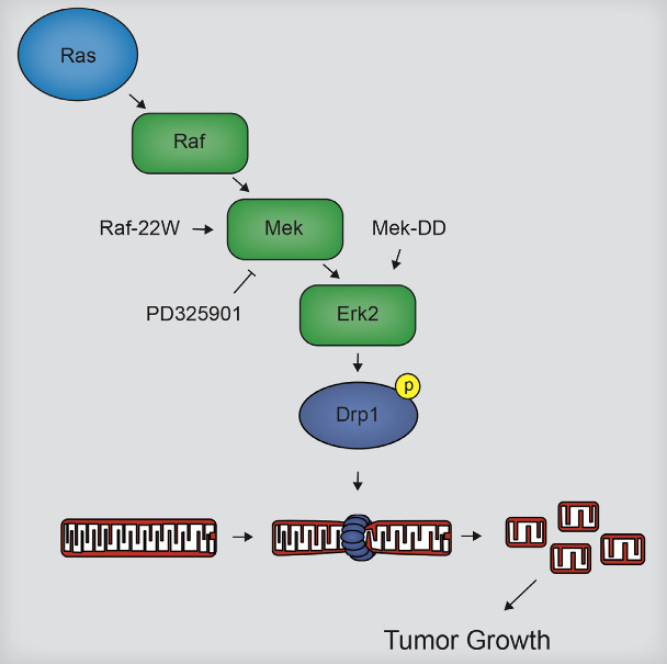 Ras is mutated in up to 30% of cancers, including 90% of pancreatic ductal adenocarcinomas, causing it to be constitutively GTP-bound, and leading to activation of downstream effectors that promote a tumorigenic phenotype. As targeting Ras directly is difficult, there is a significant effort to understand the downstream biological processes that underlie its protumorigenic activity. Here, we show that expression of oncogenic Ras or direct activation of the MAPK pathway leads to increased mitochondrial fragmentation and that blocking this phenotype, through knockdown of the mitochondrial fission-mediating GTPase Drp1, inhibits tumor growth. This fission is driven by Erk2-mediated phosphorylation of Drp1 on Serine 616, and both this phosphorylation and mitochondrial fragmentation are increased in human pancreatic cancer. Finally, this phosphorylation is required for Ras-associated mitochondrial fission, and its inhibition is sufficient to block xenograft growth. Collectively, these data suggest mitochondrial fission may be a target for treating MAPK-driven malignancies.  Erk2 Phosphorylation of Drp1 Promotes Mitochondrial Fission and MAPK-Driven Tumor Growth.  Kashatus et al 2015.