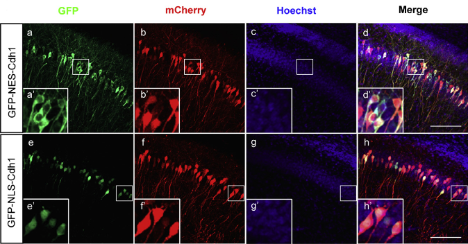 Cdh1-APC Operates in the Cytoplasm Rather Than the Nucleus to Regulate mGluR-LTD.  E15 mouse embryos electroporated with a plasmid expressing GFP-NES-Cdh1 (a–d) or GFP-NLS-Cdh1 (e–h) together with an mCherry-expressing plasmid were allowed to develop until P20. Brain sections were subjected to immuno-fluorescence analyses with GFP and DsRed antibodies and the DNA dye bisbenzimide (Hoechst 33258).  GFP-NES-Cdh1  and  GFP-NLS-Cdh1 appeared to be predominantly in the cytoplasm and nucleus, respectively. Areas inside the white boxes (a–h) are enlarged (a0–h0). Scale bars represent 100mm. Notably, although GFP-NLS-Cdh1 displayed modest expression in the soma in addition to robust expression in the nucleus, GFP-NES-Cdh1 was restricted to the cytoplasm and excluded from the nucleus in CA1 neurons.  A Cdh1-APC/FMRP Ubiquitin Signaling Link Drives mGluR-Dependent Synaptic Plasticity in the Mammalian Brain.  Bonni et al 2015.