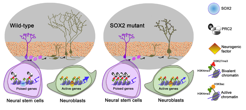 Epigenetic Regulation of SOX2 at the Promoters of Poised Genes in Adult Hippocampal NPCs.  Adult hippocampal NPCs (purple cells) in wild-type mice generate neuroblasts and newborn neurons (green cells) that integrate in the DG. In NPCs SOX2 binds to the promoters of poised genes and limits the activity of the PRC2 complex (H3K27me3), enabling proper gene expression (active chromatin) in the neuroblasts. In SOX2 mutants the binding of EZH2 and PRC2 activity (repressive chromatin mark, H3K27me3) are increased at the promoters of poised proneural and neurogenic genes. Consequently, transcriptional activation of poised genes (e.g. Ngn2, NeuroD1, Sox21, Bdnf, Gadd45b) is reduced in SOX2 mutants resulting in increased neuroblasts apoptosis and altered morphology and function of newborn DG neurons.  SOX2 primes the epigenetic landscape in neural precursors enabling proper gene activation during hippocampal neurogenesis.   Terskikh et al 2015.