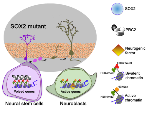featured image Discovery of new role of SOX2 protein sheds light on neurogenesis in the adult brain  - neuroinnovations