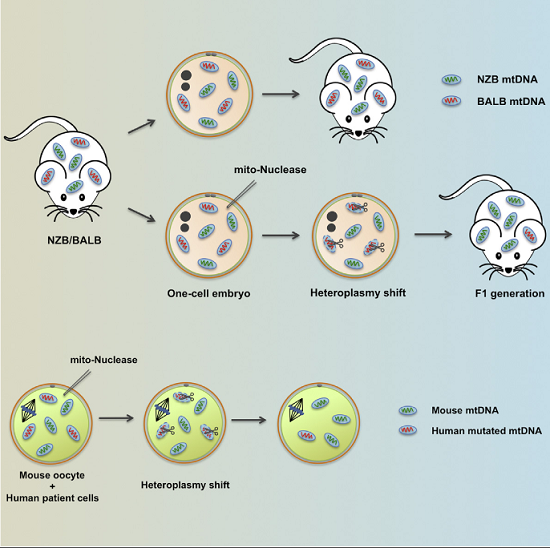 featured image Genome editing in mitochondria prevents inheritance of diseases - healthinnovations