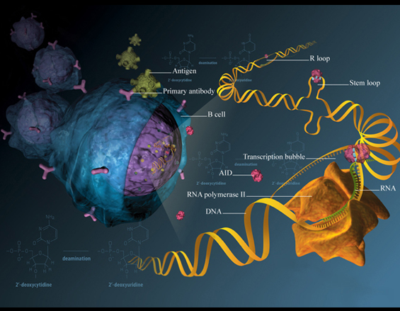 featured image Study sheds new light on a crucial enzyme for the immune response - healthinnovations