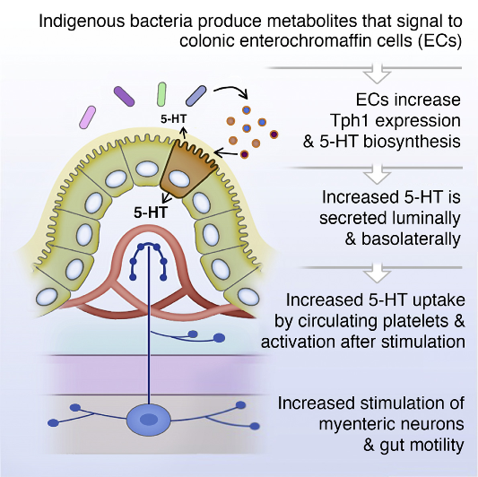 The gastrointestinal (GI) tract contains much of the body's serotonin (5-hydroxytryptamine, 5-HT), but mechanisms controlling the metabolism of gut-derived 5-HT remain unclear. Here, we demonstrate that the microbiota plays a critical role in regulating host 5-HT. Indigenous spore-forming bacteria (Sp) from the mouse and human microbiota promote 5-HT biosynthesis from colonic enterochromaffin cells (ECs), which supply 5-HT to the mucosa, lumen, and circulating platelets. Importantly, microbiota-dependent effects on gut 5-HT significantly impact host physiology, modulating GI motility and platelet function. We identify select fecal metabolites that are increased by Sp and that elevate 5-HT in chromaffin cell cultures, suggesting direct metabolic signaling of gut microbes to ECs. Furthermore, elevating luminal concentrations of particular microbial metabolites increases colonic and blood 5-HT in germ-free mice. Altogether, these findings demonstrate that Sp are important modulators of host 5-HT and further highlight a key role for host-microbiota interactions in regulating fundamental 5-HT-related biological processes.  Indigenous Bacteria from the Gut Microbiota Regulate Host Serotonin Biosynthesis.   Hsiao et al 2015.