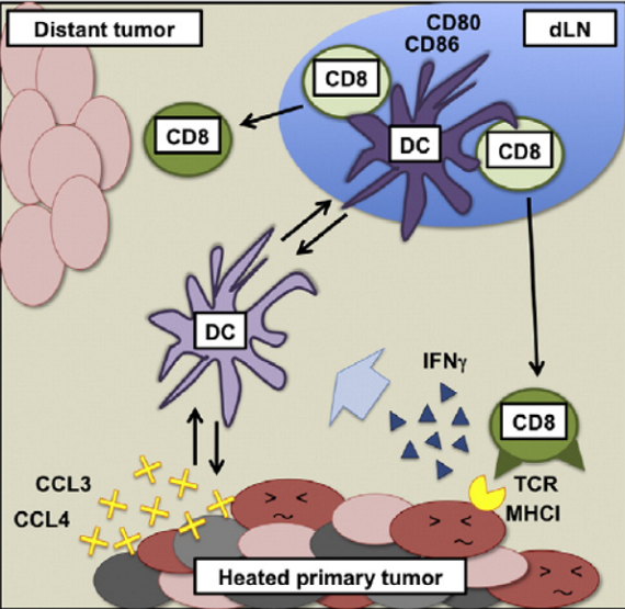 Mechanism of anti-tumor immune resistance induced by local hyperthermia treatment.  Local hyperthermia treatment of tumors induces CD8+ T cell-mediated resistance against distal and secondary tumors.  Fiering et al 2014.