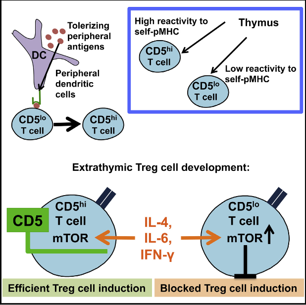 Self-reactive T cells can escape thymic deletion and therefore some of these potentially autoaggressive T cells need to convert into regulatory T (Treg) cells to help control responses against self. However, it remains unknown how peripheral self-reactive T cells are specifically instructed to become Treg cells. We report that CD5, whose expression is upregulated in T cells by self and tolerizing antigens in the thymus and periphery, governed extrathymic Treg cell development. CD5 modified effector cell-differentiating signals that inhibit Treg cell induction. Treg cell conversion of Cd5−/− and CD5lo T cells was inhibited by even small amounts of interleukin-4 (IL-4), IL-6, and interferon-γ (IFN-γ) produced by bystander lymphocytes, while CD5hi T cells resisted this inhibition of Treg cell induction. Our findings further revealed that CD5 promoted Treg cell induction by blocking mechanistic target of rapamycin (mTOR) activation. Therefore CD5 instructs extrathymic Treg cell development in response to self and tolerizing antigens.  CD5 Instructs Extrathymic Regulatory T Cell Development in Response to Self and Tolerizing Antigens.  Hawiger et al 2015.