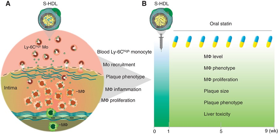 Study summary.  (A) First, we investigated the mechanisms by which statin-loaded HDL nanoparticles (S-HDL) reduce plaque inflammation. Blood Ly-6Chigh monocyte targeting, monocyte recruitment, plaque phenotype, macrophage proliferation, macrophage emigration, and macrophage inflammation were investigated by flow cytometry, MRI, latex bead–based in vivo cell tracking, laser capture microdissection, and mRNA profiling. (B) To evaluate S-HDL's translational potential, we combined one-week S-HDL intervention with an eight-week oral statin treatment. Plaque macrophage accumulation, macrophage phenotype, plaque phenotype, and toxic effects on the liver were evaluated in Apoe−/− mice fed a high-cholesterol diet (HCD) for 26 weeks.   Inhibiting macrophage proliferation suppresses atherosclerotic plaque inflammation.  Mulder et al 2015.