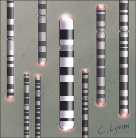Studies Probe Role of Telomere Length in Predicting, Modulating Cancer Risk.  Hampton et al 2011.