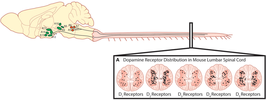 Descending dopaminergic fibres within the spinal cord originate in the A11. (A) Dopamine acts on all five dopamine receptors that are distributed non-uniformly through the dorsal and ventral horns of the spinal cord (Adapted with permission from Zhu et al., 2007). Descending noradrenergic fibres originating in the A5, A6 and A7 nuclei of the pons innervate the spinal cord. Schematic adapted with permission from Björklund and Dunnett (2007).  Dopamine: a parallel pathway for the modulation of spinal locomotor networks.  Whelan et al 2014.