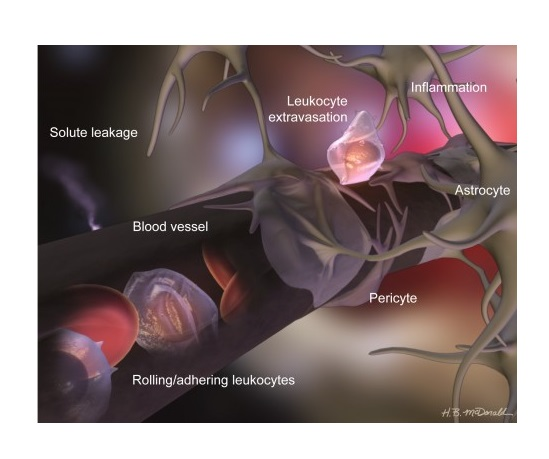 The BBB is also covered in Astrocytes.  Credit:  Dr. Danica Stanimirovic.